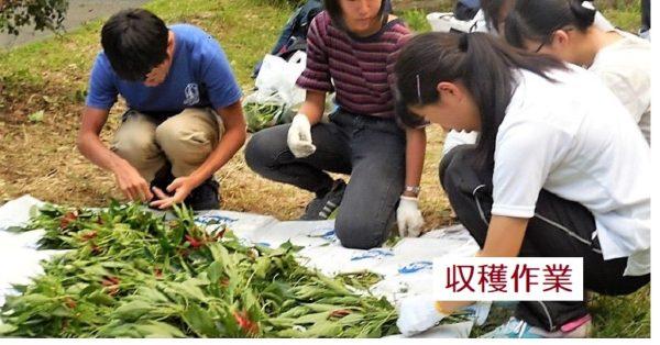 戸山収穫作業中